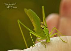 Katydid (Oblong-Winged) at Duke Farms, Hillsborough, NJ (takegoro) Tags: nature wildlife insects bugs katydid sanctuary naturepreserve dukefa