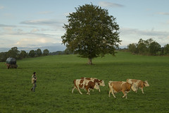 Lionel Rounds Up His Cows For Milking (garrettpalm) Tags: travel france milk cows pasture aveyron aubrac laterrisse