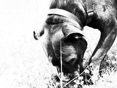_4101819-Modifica-1 (FloBue) Tags: blackandwhite dog cane morocco hund marocco schwarzweiss oliva biancoenero 2014