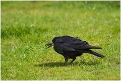 eating worms (7D025554) (Hetwie) Tags: bird nederland worm eten vogel noordbrabant helmond roek