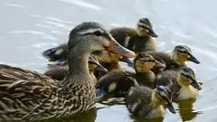 The Mallard Family (Jim Mullhaupt) Tags: wallpaper lake bird nature water landscape duck pond nikon florida wildlife ducklings p900 swamp coolpix mallard bradenton mallardduck babyduck mullhaupt nikoncoolpixp900 coolpixp900 nikonp900 jimmullhaupt