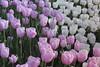 _MG_4310 (Gökmen Kımırtı) Tags: flower tulip 2015 emirgan laleler