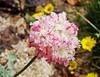 Eriogonum ovalifolium var. nivale DSC06504 (sierrarainshadow) Tags: eriogonum var ovalifolium nivale