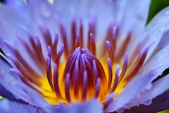 Lotus (Photography Peter101) Tags: flowers macro nature closeup canon lotus