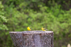 Male and Female American Goldfinch (Michael Seeley) Tags: ny newyork bird birds squirrel cardinal goldfinch birding upstate bluejay upstatenewyork bloomfield birdwatcher mikeseeley michaelseeley