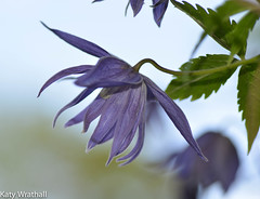 Purple petals (Katy Wrathall) Tags: england garden spring clematis may eastyorkshire 2015 eastriding