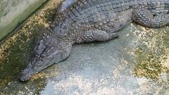 Crocodiles (sofimi) Tags: travel puertoprincesa palawan crocodilefarm palawanwildliferescueandconservationcenter