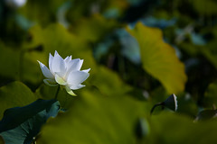 _MG_2148 () Tags: travel flowers school trees summer white plant macro water yellow photography asia university lotus bokeh taiwan taichung              wufeng formosan garden    depth field water lilies botanical  canon5d2