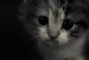 KITTY KITTY (Phil3 (ex Bassapower)) Tags: blackandwhite pet pets cat persian kitten chat kitty mimi creme minou mignon chaton kittykitty persan gouttiere kaway phil3 chatdegouttiere perçant bassapower chatdegoutiere