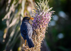 Indian Blackbird (Nagesh Kamath) Tags: india bird broadcast birds birding tamilnadu ooty nilgiris in eurasianblackbird birdphotography turdidae turdussimillimus iucnlc indianblackbird gorisholaroad