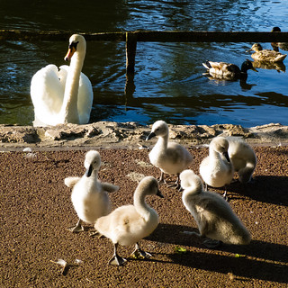 West Park cygnets, coming ashore