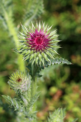 Lovely Thistle (gripspix (catching up slowly)) Tags: plant flower nature thistle natur pflanze blume muskthistle distel carduusnutans nickendedistel 20150616