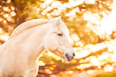 (ingrid.schnelle) Tags: canon eos 5d mark ii ef85mm f12l usm horse equine horsephotographer equinephotographer horseportrait outdoors outdoor norge norway dreamy dof 2016 horsephotography equestrian equinephotography magical hest animal pferd depth field bokeh fjording fjordhest fjordhorse moments
