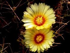 Astrophytum flower (Skolnik Collection) Tags: astrophytum flower cactus mexico hybrid skolnik collection