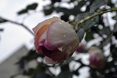 Mit Trnen, der Herbst ist da. (borntobewild1946) Tags: herbst nrw nordrheinwestfalen copyrightbyberndloosborntobewild1946 rose trnen tropfen wassertropfen blte blossom tears rosen regentropfen raindrops rosenblte herbstlich