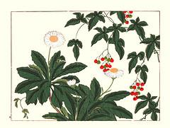Nippon daisy and lyreleaf nightshade (Japanese Flower and Bird Art) Tags: flower nippon daisy nipponanthmum nipponicum asteraceae lyreleaf nightshade solanum lyratum solanaceae hoitsu sakai kiitsu suzuki kimei nakano nihonga woodblock picture book japan japanese art readercollection