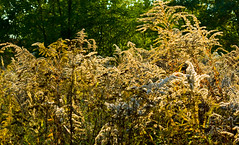 Autum 2016 - 61 (Hejma (+/- 4800 faves and 1,5milion views)) Tags: thebeginningofautumn polish flora grass yellow green chiaroscuro tansy