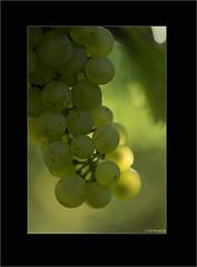 usa-4217 (Weinstckle) Tags: trauben gegenlicht