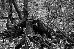 Souche/Tree stump (bob august) Tags: 2016 aperture3 arbres arrondissementahuntsic automne autumn bw blackwhite canada d90 fall feuilles leafs manualmode modemanuel nikkor18300mm nikon nikond90 noiretblanc octobre slowphotography trees 2016©rpd'aoust montral montréal