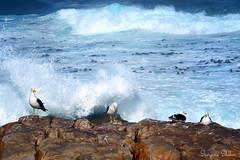 Kelp Gulls taking a break (Sumarie Slabber) Tags: birds birding southafrica sumarieslabber water waves kelpgull sea ocean rocks nikon nature