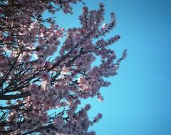 It's Spring (denise yeap) Tags: spring cherryblossom flower colours ektar100 kodak mamiya7 mediumformat 120 analog analogue film whenilookup