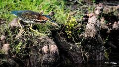 On the Hunt (Robert Jackson Photography) Tags: robertjackson bethanylake texas ogre1550 photography greenheron bird color nikond750 wildlife nikon200500