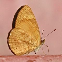 Tegosa sp. (Birdernaturalist) Tags: butterfly crescent ecuador melitaeini mindo nymphalidae nymphalinae richhoyer septimoparaiso