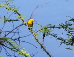 Prothonotary Warbler Protonotaria citrea_8202 (Alice & Seig) Tags: spring16 birds passeriformesperchingbirds newworldwarblersparulidae mississippi flickr philipp unitedstates