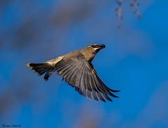 Eating On The Fly (b88harris) Tags: cedar waxwings wildwood lake park wild grape yellow black blue grey flying nature natural sunlight light exposure nikon d750 nikkor 300mm lens