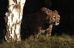 cheetah Beekse Bergen JN6A4779 (j.a.kok) Tags: cheetah jachtluipaard acinonyxjubatus acinonyxjubates beeksebergen mammal zoogdier predator afrika africa
