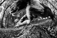 The photo finish (TrevKerr) Tags: nikon d7000 dog puppy englishspringerspaniel monochrome nikon105mm blackandwhite bw