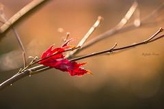 L'ultima rimasta ((Raffaella@)) Tags: inexplore rosso red foglia leaf acerogiapponese acero luce light autunno autumn novembre bokeh home canon macro ef100mmf28l