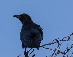 Carrion Crow (forpus1) Tags: carrion crow