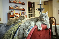 just us girls (judecat (back with the pride)) Tags: longhaireddilutetortiseshell longhairedgreycat cats felines pets sally dora