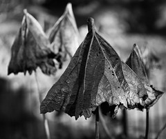 Dead leaves (Catherine North) Tags: plant dead leaf leaves nature outdoor umbrella monochrome