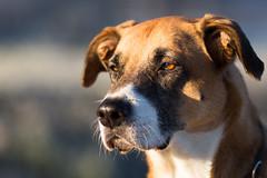 Leon (GeorgKazrath) Tags: canon canon5dmark3 hund dog hunde dogs tiere animals portrait 135mm ef135mmf2l hundleon