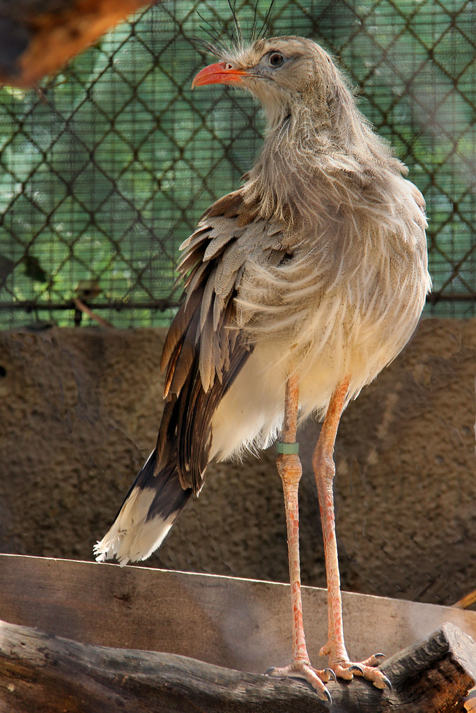 the world s best photos of aves and cariamidae flickr hive mind