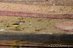 grote gele kwikstaart - Motacilla cinerea - Grey wagtail (MrTDiddy) Tags: grote gele kwikstaart motacilla cinerea grey wagtail kwik staart wag tail vogel bird zooantwerpen zoo antwerp antwerpen