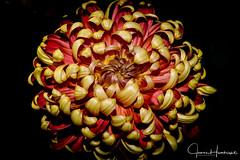 Red & Gold Beauty (jhambright52) Tags: macro macroflowers chrysanthemum doublefantasy