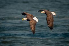 The chase (Vic Zigmont) Tags: birds birdinflight baldeagle wildlife raptor eagles