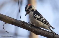 DSC_6009w Concentration /Deep in thoughts (Danielle Champagne) Tags: pic picmineur woodpecker parc angrignon nature birds oiseaux daniellechampagne