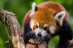 Red Panda (Mathias Appel) Tags: grã¼n red panda animal tier roter kleiner nikon d7000 bokeh cute adorable sweet niedlich süs sues suess tree green endangered species bedrohte tierart zoo tierpark deutschland germany female weiblich young jungtier bamboo baum jung ears ohren face gesicht tail schwanz nose nase orange fur fell high iso animals nature natur wildlife bedroht ailurus fulgens vintage 2015 mozilla firefox feet paws paw foot wochenende weekend spring frühling depth depthoffield field blur