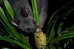 Possum (Trichosurus vulpecula) and Kiekie (Freyicinetia banksii) (Nga Manu Images NZ) Tags: fscientificnames feeding freycinetiabanksii kiekie plants plantsandfungi possum trichosurusvulpecula