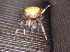 Yellow_Bodied_Spider_near_Samoens_7 (Abbey_L) Tags: alps animal day6aftertheendoftheworld france frenchalps outbreakadventure samoens spider tjpio tobeidentified