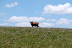 DSCF5338-2 (I Ring) Tags: salers animals cow cattle vache les burons de juli 2016 massif central france landscape nature fujifilm fuji xt1