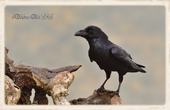CUERVO COMUN (Corvus corax) (JORGE AMAYA BUSTAMANTE - JAKKEMATE) Tags: cuervo comun corvus corax jakkemate nikon d500 sigma 150500 jorge amaya bustamante wildlife aves birds photonature