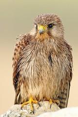 Female Kestrel (Ady G.) Tags: ukbirds raptor bird 1dmarkiv falcotinnunculus wild wildlife birdofprey falcon canon 1d4 500f4 portland dorset female kestrel