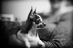 Freelensing Dog Portrait (Del Robertson) Tags: lenswhackingdogportrait freelensing lens whacking dog portrait chihuahua miniature