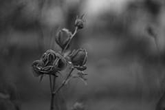 Szrkerzsa (Magnumrfi) Tags: prny sturovo hungary slovakia flower minolta sony slt a77 alpha