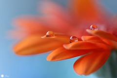 Everybody needs somebody (Trayc99) Tags: water waterdrops droplets drops flower petals orange bright colorful beautyinnature beautyinmacro